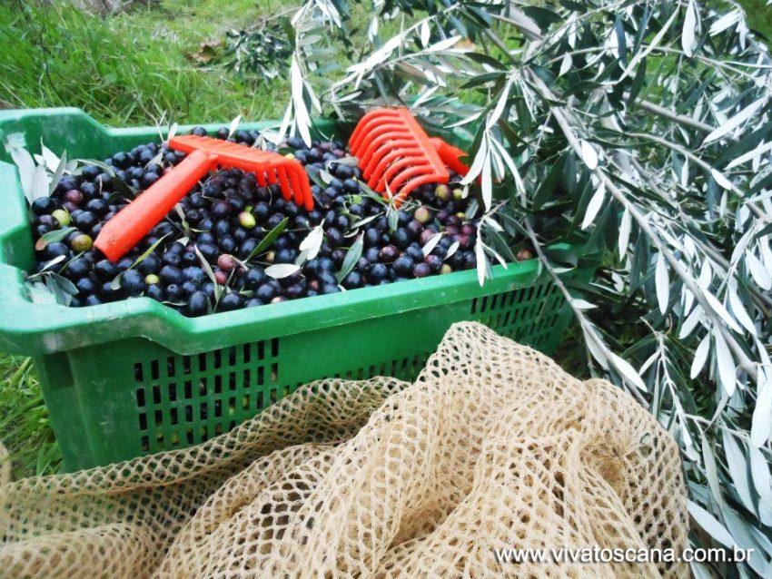 colheita azeitonas